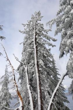 Pinus albicaulis<BR>Crater Lake 30.09.2017