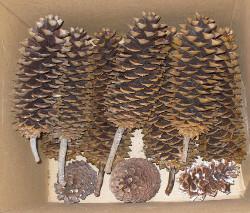Pinus lamberta