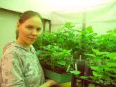 м.н.с. лаборатории лесных биотехнологий О.С. Серебрякова