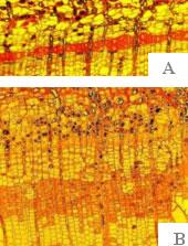 Результаты экспериментов по введению экзогенных растворов фруктозы в камбиальную зону березы