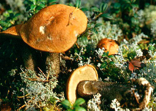 Осиновик желто-бурый (Leccinum versipelle (Fr.) Snell.)