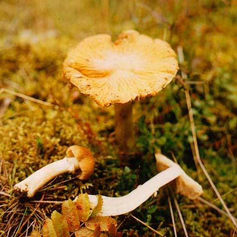 Колпак кольчатый (Rozites caperata (Pers.: Fr.) P.Karst.)