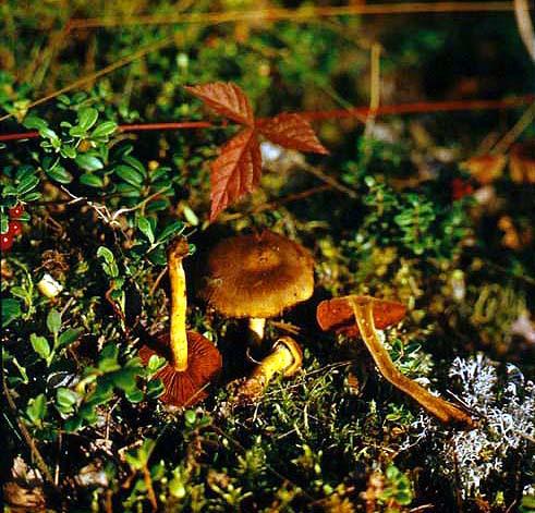 Паутинник кроваво-красноватый (Cortinarius semisanguineus (Fr.) Gill.)
