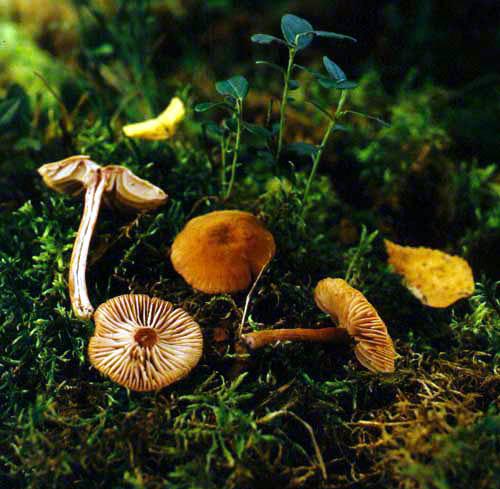 Лаковица розовая (Laccaria laccata (Scop.: Fr.) Berk. et Broome.)