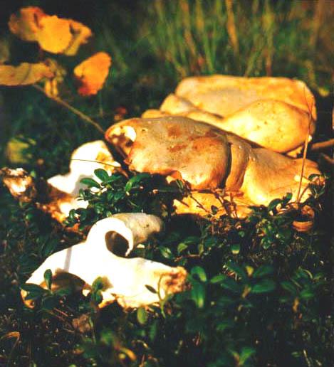 Трутовик овечий (Albatrellus ovinus (Shaeff.: Fr.) Kotl. et Pouzar)