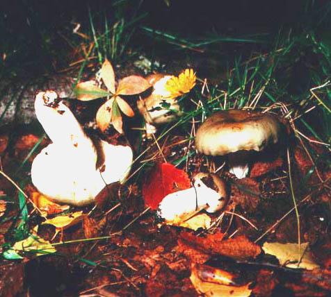 Сыроежки (Russula)