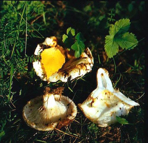 Груздь настоящий (Lactarius resimus (Fr.: Fr.) Fr.)