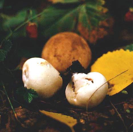 Дождевик шиповатый, жемчужный (порховка, дымчатка) (Lycoperdon perlatum Pers.)