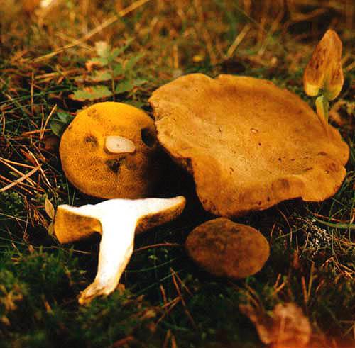 Моховик желто-бурый (Suillus variegatus (Sw.: Fr.) Kuntze)