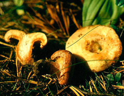Рыжик сосновый (Lactarius deliciosus (Fr.) Gray)