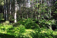 Богатый разнотравный лес с липой и кленом