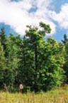 Крупнейшее дерево клена