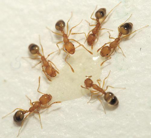 Фараонов муравей (Monomorium pharaonis). Фото: Землеройкин, wikimedia.org