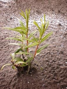 будущая плантация ивы