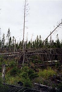 Обширные массовые ветровалы в коренных еловых лесах таежной зоны