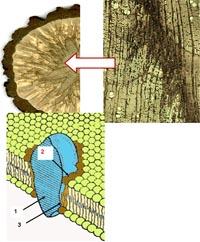Фрагмент биологической мембраны:1 – молекула белка,2 – аннулярный       липидный слой,3 – жирнокислотные       остатки       молекул липидов       аннулярного слоя. <BR> Увеличение: х100<BR>