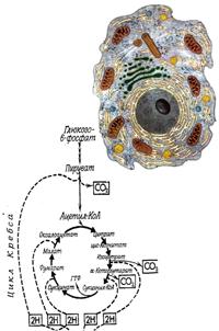 Взаимосвязь различных путей клеточного метаболизма в развитии биохимических адаптаций у рыб и водных беспозвоночных в ответ на изменение биотических и абиотических факторов